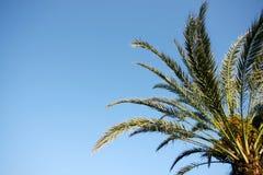 Datuje palmy Zdjęcie Stock