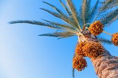 Datum-gömma i handflatan treen ovanför den ljusa blåa skyen Arkivfoto