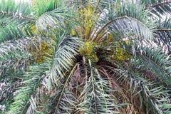 Datum op palm Groene mooi De lange Palm van de Boomstamdatum Data op een palm Dadelpalmtakken met rijpe data Bos van bar royalty-vrije stock foto's