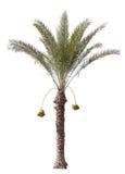 Datum-palm boom die op wit wordt geïsoleerdr Stock Foto's