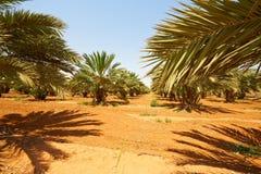 Datum-Palmen Stockbilder