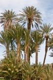 Datum-Palmen Stockbild