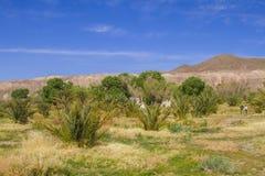 Datumbomen in de Natiepark van de Doodsvallei, Californië Stock Afbeelding
