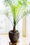 Datumet gömma i handflatan i uteplatsbehållare på fönstret, hemmiljö med tropiskt gömma i handflatan växten Dactylifera Phoenix Royaltyfri Fotografi