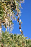 Datumfrukt - palmträd Royaltyfri Foto