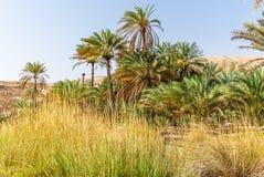 Datumpalmen in de oase van Wadi Bani Khalid in Oman stock foto
