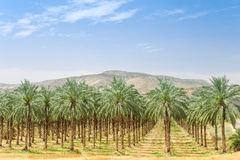 Datumpalmträd på fruktträdgårdkoloni i Galilee Fotografering för Bildbyråer