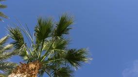 Datumpalmträd på klar himmelbakgrund Sidor av gräsplan gömma i handflatan att svänga i vind lager videofilmer