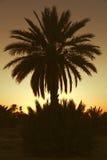 Datumpalmtrees med solnedgång Arkivfoto