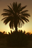 Datumpalmtrees met zonsondergang Stock Foto