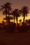 Datumpalmtrees met zonsondergang Royalty-vrije Stock Foto