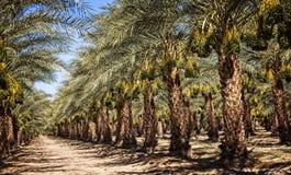Datums-Obstgarten im Mekka Lizenzfreies Stockfoto