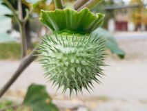 Datura κάρυο λουλουδιών Στοκ Εικόνες