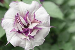 Datura λουλούδι Στοκ Φωτογραφία