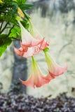 Datura (σάλπιγγα αγγέλου) λουλούδι στοκ εικόνα