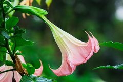 Datura (angel trumpet) flower Royalty Free Stock Image