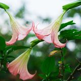 Datura (angel trumpet) flower. In garden stock images