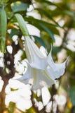 Datura blanca también conocida como trompetas de los diablos Imágenes de archivo libres de regalías