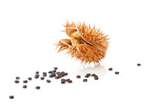 Datura Capsule with Seeds. Scattered Around royalty free stock photo