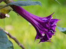 Datura Flower. Purple datura flower (Catura metel Linn. in science name stock image