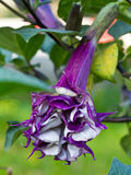 Datura Flower. Purple datura flower (Catura metel Linn. in science name stock photography
