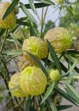Datura flower Royalty Free Stock Image
