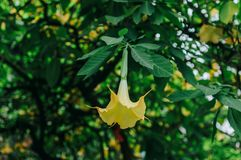 Datura flower in bloom. Datura Brugmansia flower with green background stock image
