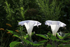 Datura Flower Royalty Free Stock Photography