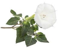Datura flower, dope, stramonium, thorn-apple, jimsonweed, isolated on white background.  royalty free stock images