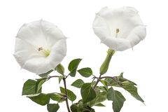 Datura flower, dope, stramonium, thorn-apple, jimsonweed, isolated on white background.  stock photography