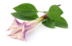 Datura flower with leaves. Over white background royalty free stock photo