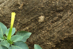 Datura flower. With rock background landscape stock images