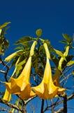 Datura flower in Thailand. Datura Suaveolen, Angel's Trumpet flower Royalty Free Stock Image