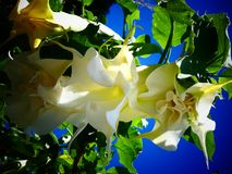 Datura Flowers Against a Blue Sky. Brugmansia Candida, also known as Angel`s Trumpet is a toxic plant with beautiful blooms that hang like a pendant stock photos