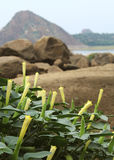 Datura flowers. With rocks landscape royalty free stock image