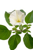 Datura flowers on white Stock Photos