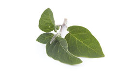 Datura inoxia branch Stock Images