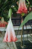 Datura kwiat w kwiacie fotografia royalty free