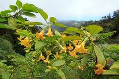 Datura (Madeira) Royalty Free Stock Photography