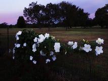 Moonflower blossoms, datura, Iponmoea alba at sunset Stock Photography