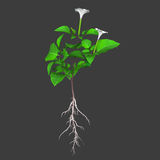 Datura Plant Royalty Free Stock Photos