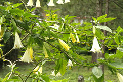 Datura Stramonium Royalty Free Stock Photography