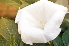 Datura stramonium Royalty Free Stock Photo