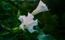Datura stramonium. Is beautiful poisonous flower stock photo