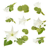 Datura stramonium. Datura (Datura stramonium) flower with leaves over white background royalty free stock photography
