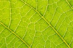 Datura suaveolens leaf Stock Photography
