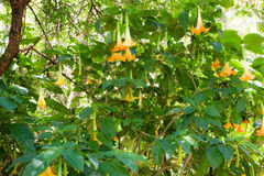 Datura tree. Yellow flower on datura tree Royalty Free Stock Image