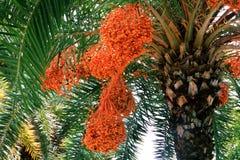 Daty na daktylowym drzewku palmowym Zdjęcie Stock