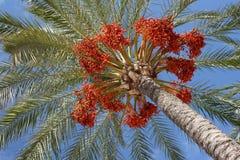 Daty na drzewku palmowym zdjęcia stock