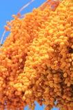 Daty - złoto na błękicie - jedzenie dla wszystko i deser dla few Obraz Royalty Free